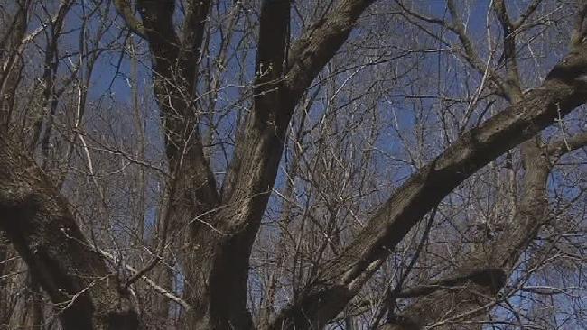 vshape tree_182369
