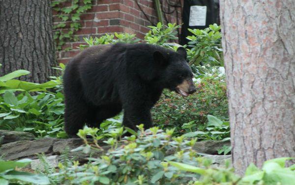 bear sighting in Holyoke 3_206444