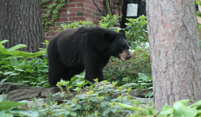 bear sighting in Holyoke 3_206444