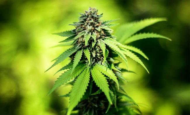 Medical Marijuana_197056