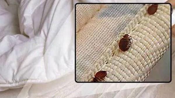 bedbugs_326007