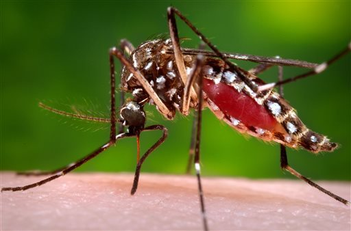 Aedes aegypti mosquito_337544