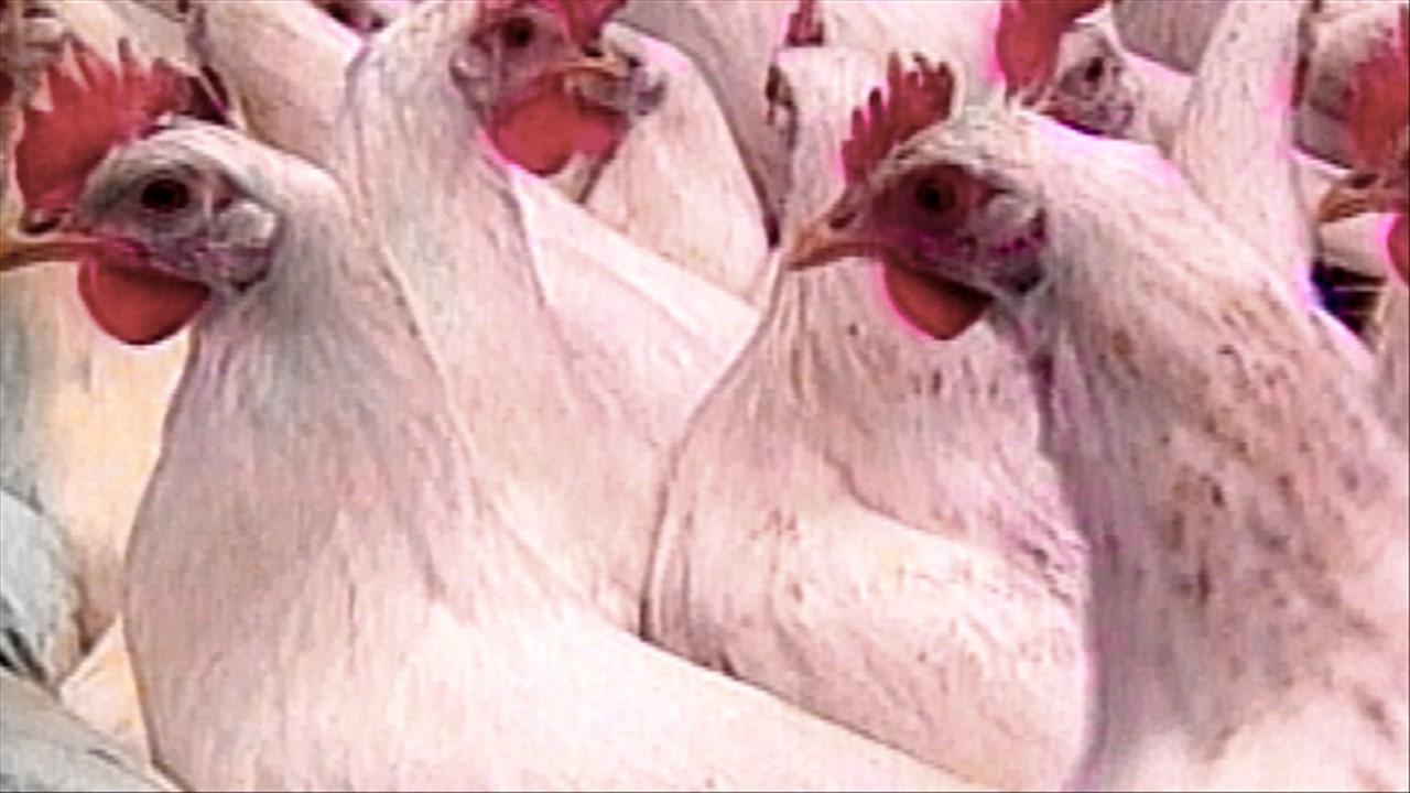 Chickens farm animal_405974