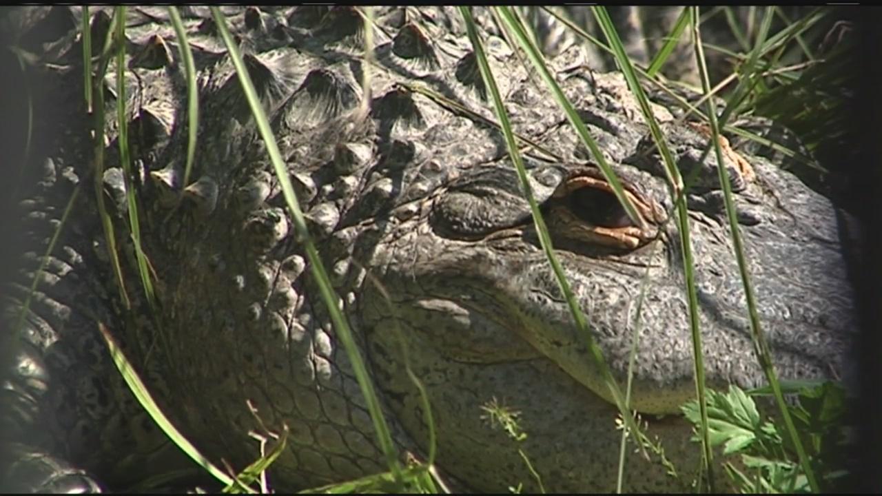 wally the alligator_438563
