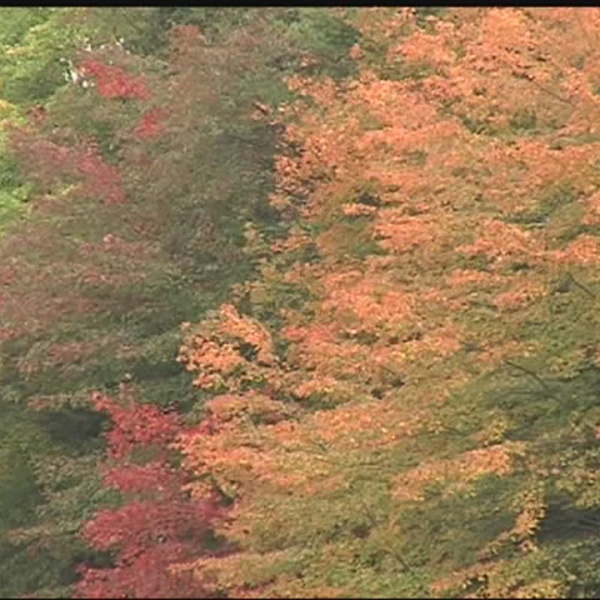 Fall foliage might not be as bright this year