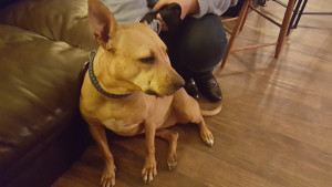 Honey, a former bait dog, at her forever home.