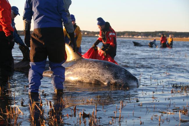 ma-dolphin-rescue_524935
