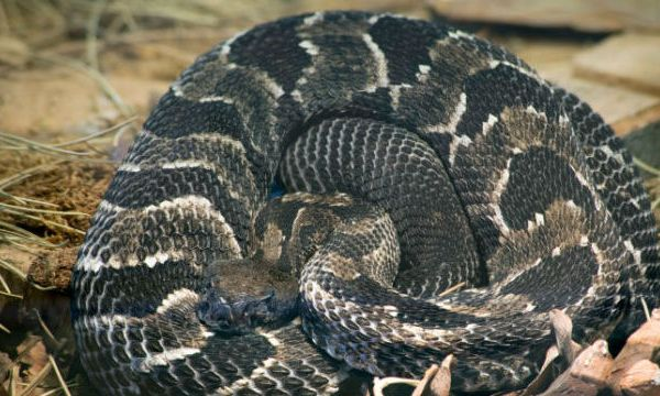 Timber Rattlesnake_383109