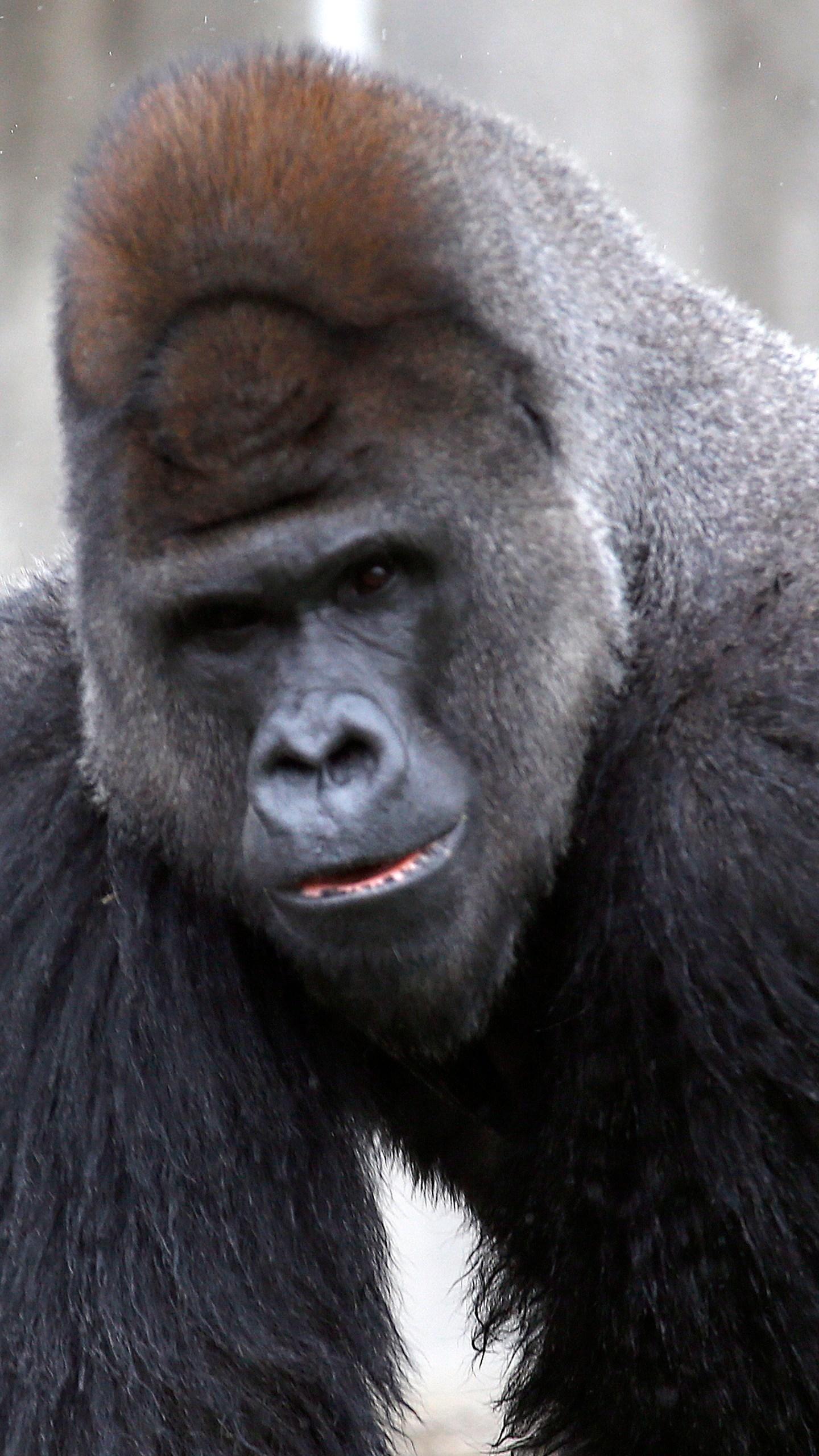 Western lowland gorilla_735214
