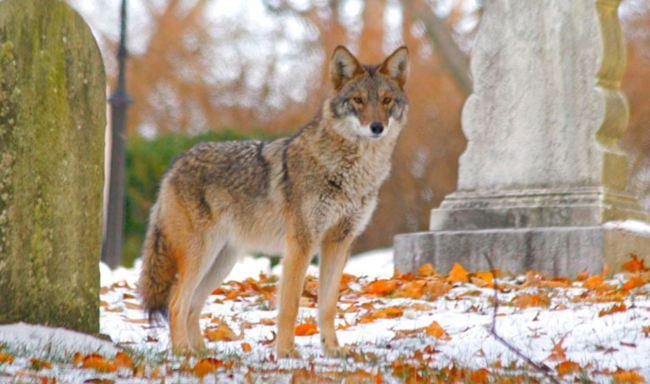 coyote_744618