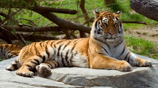 tiger_627716