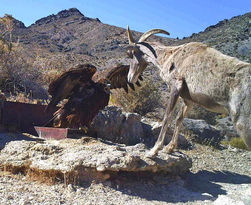 In this 2012 photo from a U.S. Fish and Wildlife Service motion-activated camera, a golden eagle confronts a desert bighorn sheep at Desert National Wildlife Refuge in Nevada. Motion-detecting wildlife cameras are getting smaller, cheaper and more...