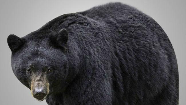 black-bear-mgnonline1_797332