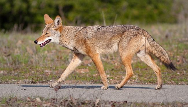 Coyote (Canis latrans)_438558