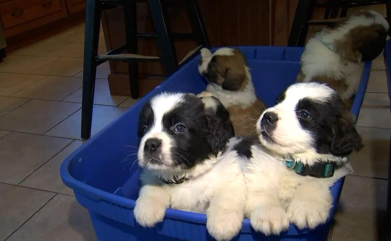 St Bernard Puppies Surrendered In Massachusetts Are Now
