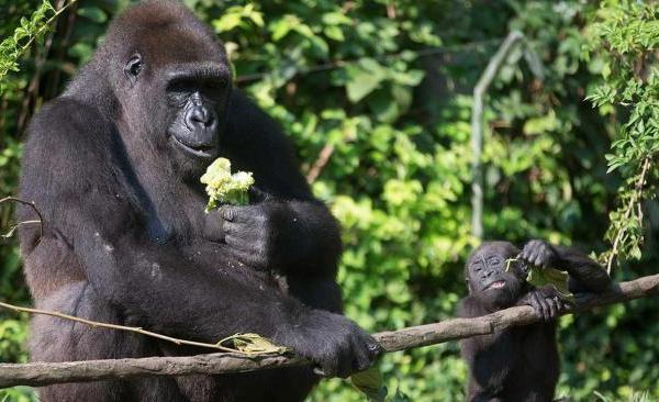 gorilla (ASSOCIATED PRESS)_822159