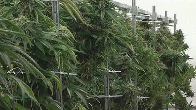 marijuana_810236