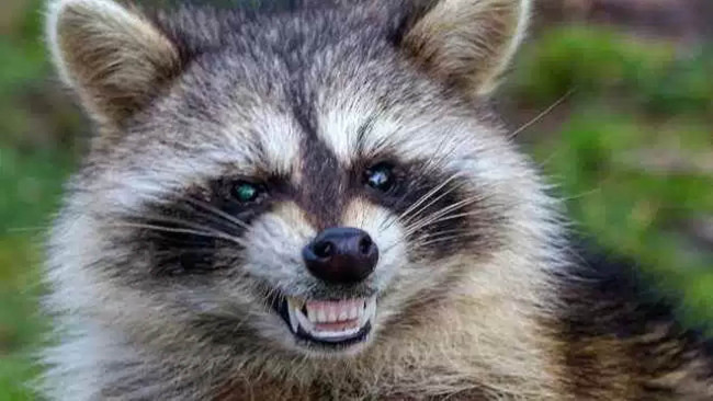 raccoon_1522765209268.jpg