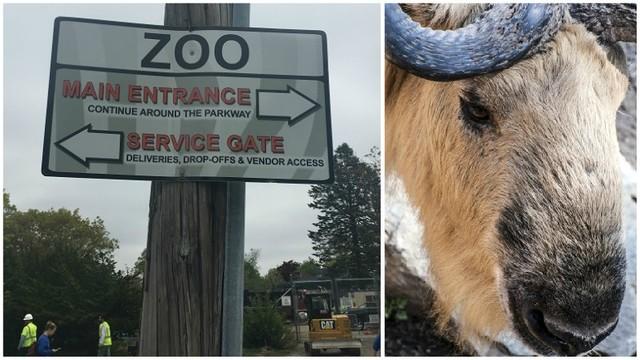 escaped rwp zoo takin_1526394048296.jpg_42649442_ver1.0_640_360_1526401711580.jpg.jpg