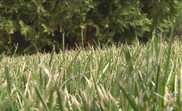 grass grow proper length_1526505315751.jpg.jpg