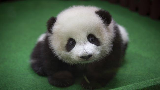 Malaysia Baby Panda_1527332040832