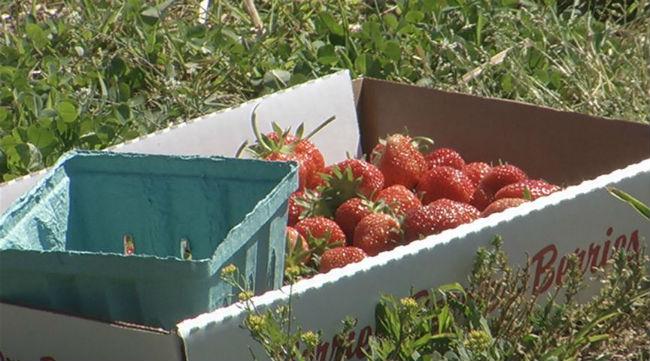 sunderland strawberry_1529267084132.jpg.jpg