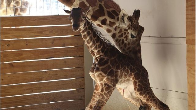 Pregnant Giraffe_1532523066555