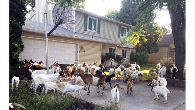 goats idaho driveway ap_1533336207028.jpeg_50636273_ver1.0_640_360_1533457278762.jpg.jpg