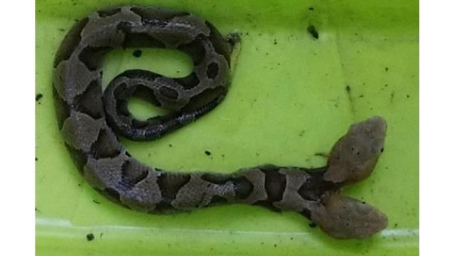 2-headed Snake_1537620365277.png_56402520_ver1.0_640_360_1537628696664.jpg.jpg