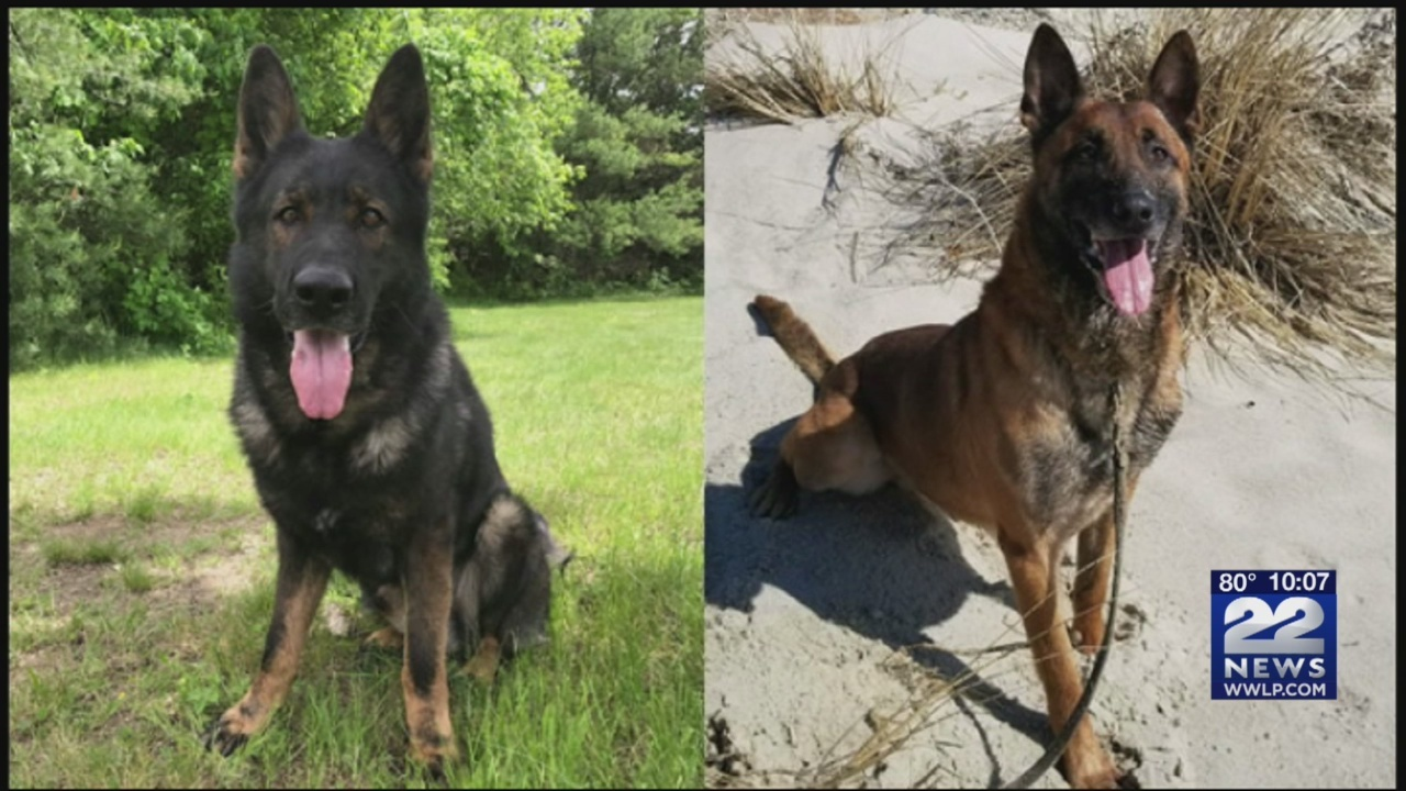 If you're looking for a dog that comes fully trained and is incredibly obedient, Massachusetts State Police have just the dog for you!