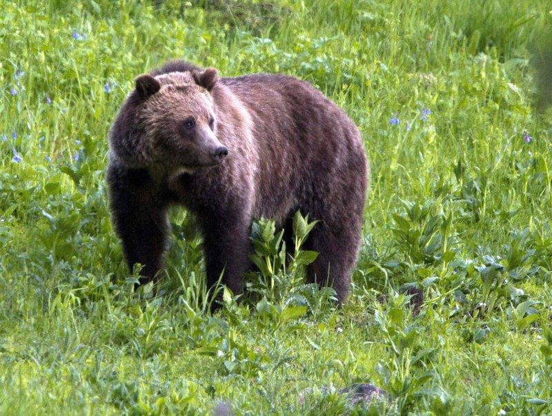 blocked grizzly bears hunts_1545471649011.jpeg.jpg