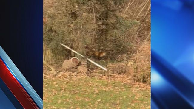 West springfield rabid foxes_1546467407107.jpg.jpg