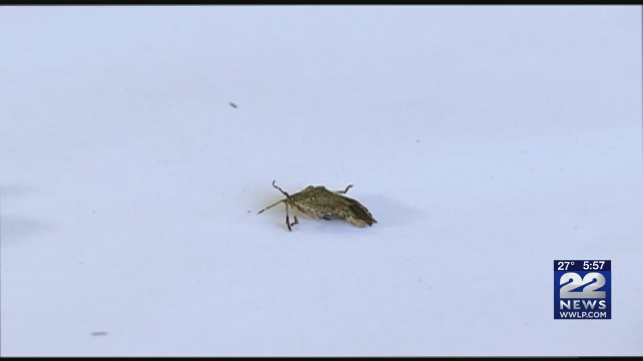 Stink bug population down this year due to fluctuating
