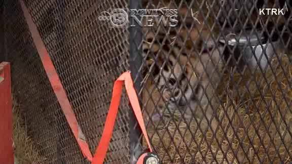TX__TIGER_FOUND_IN_ABANDONED_HOME_0_20190212155127