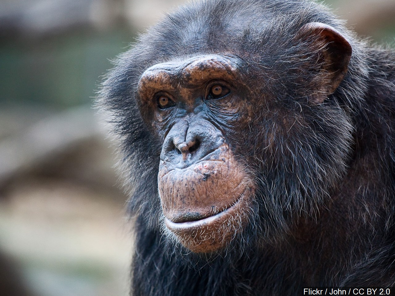 chimpanzees_1549805723363.jfif.jpg