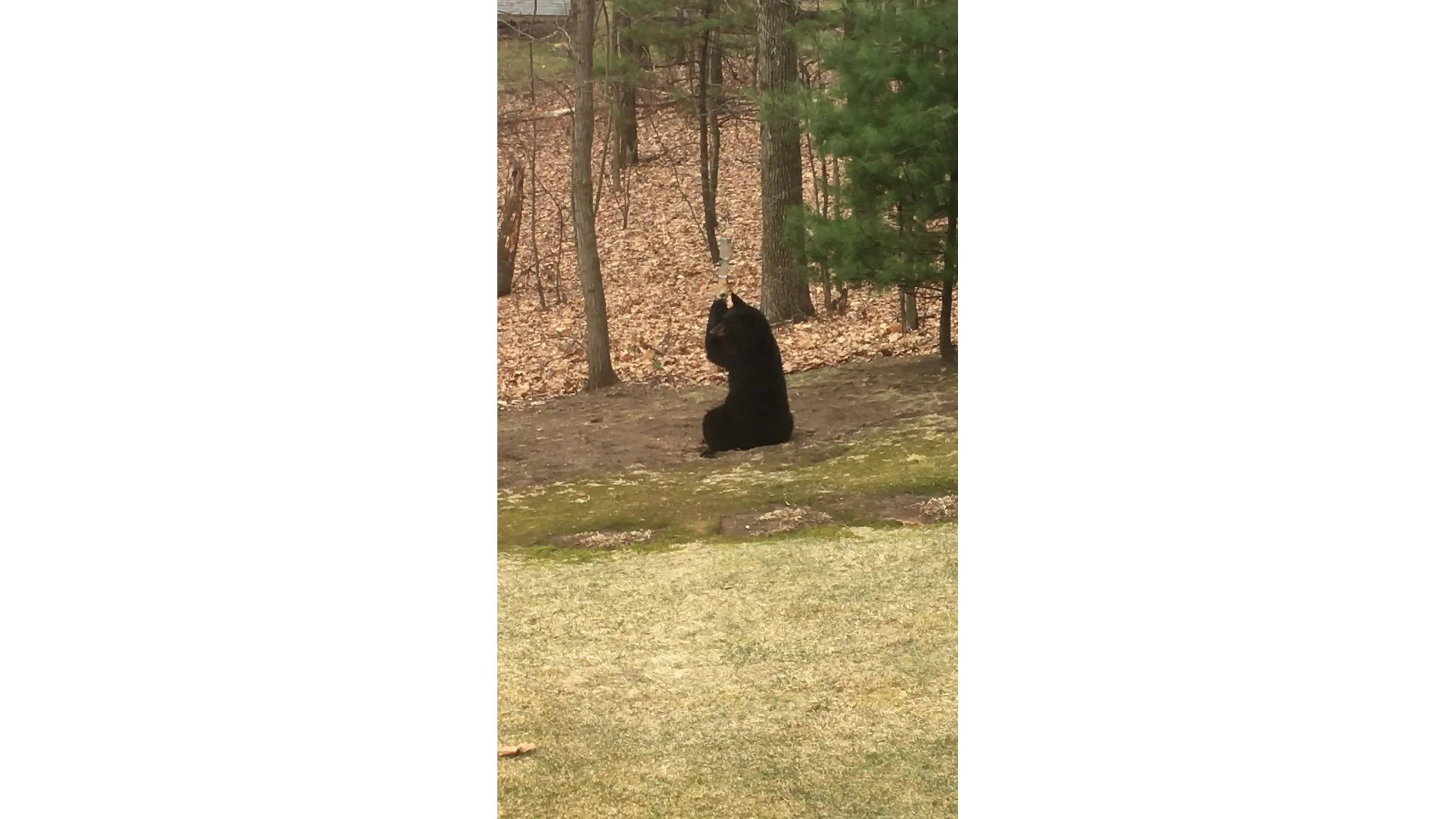 REPORT IT: Bear in West Springfield