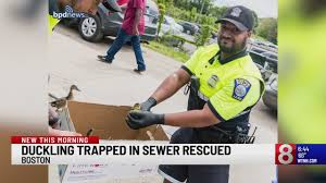 Duckling trapped in sewer rescued in Boston_1558776833624.jfif.jpg
