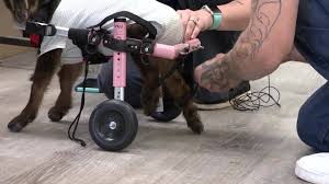Trampled goat fitted with wheelchair_1558776293394.jfif.jpg