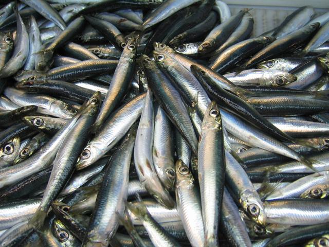 atlantic herring_1556878007478.jpg.jpg