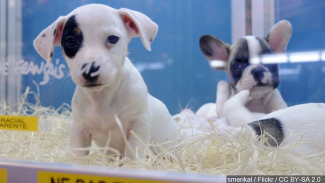 Pittsfield To Ban The Sale Of Puppy Mill Puppies At Pet Stores Wwlp