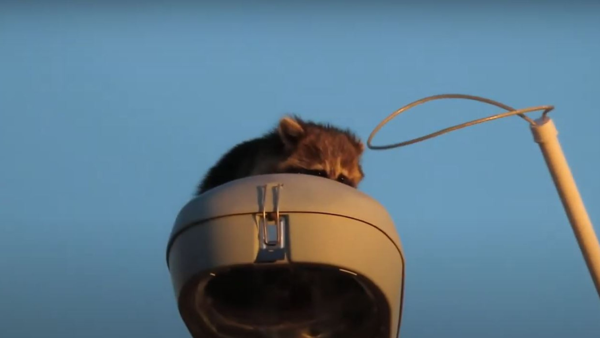 Raccoon Rescue From Highway Lamppost