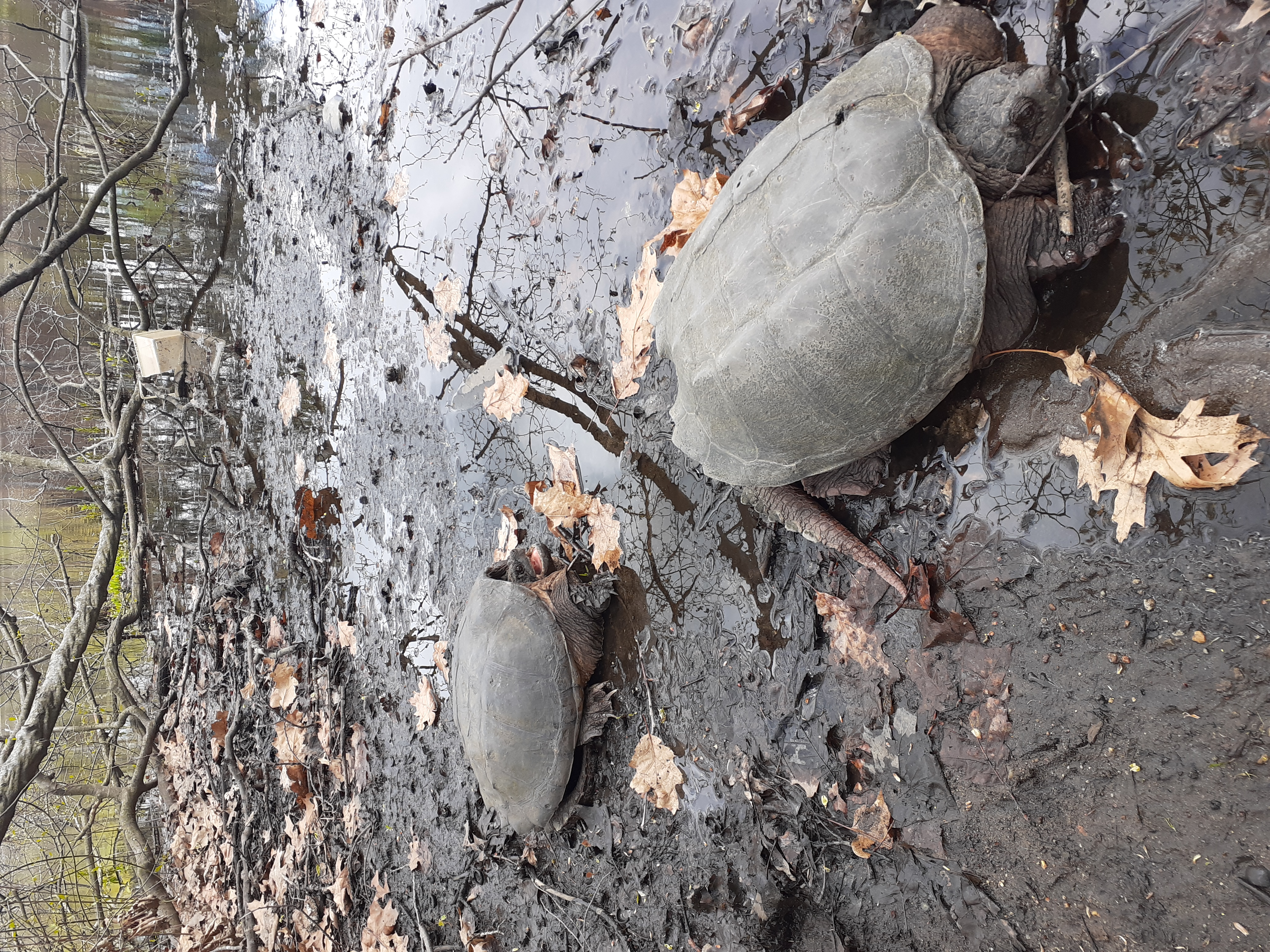 turtle in Springfield