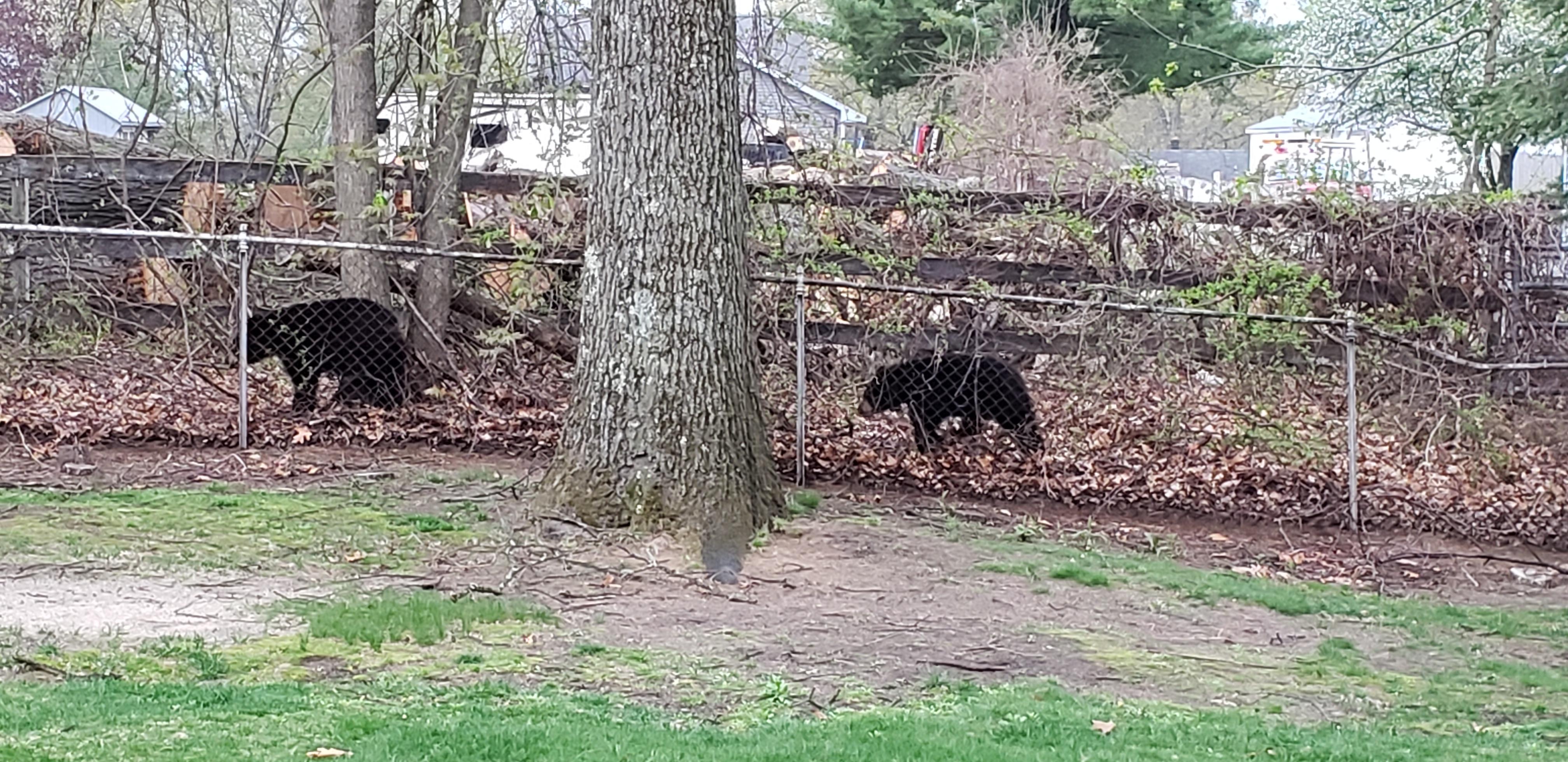 bears in Chicopee