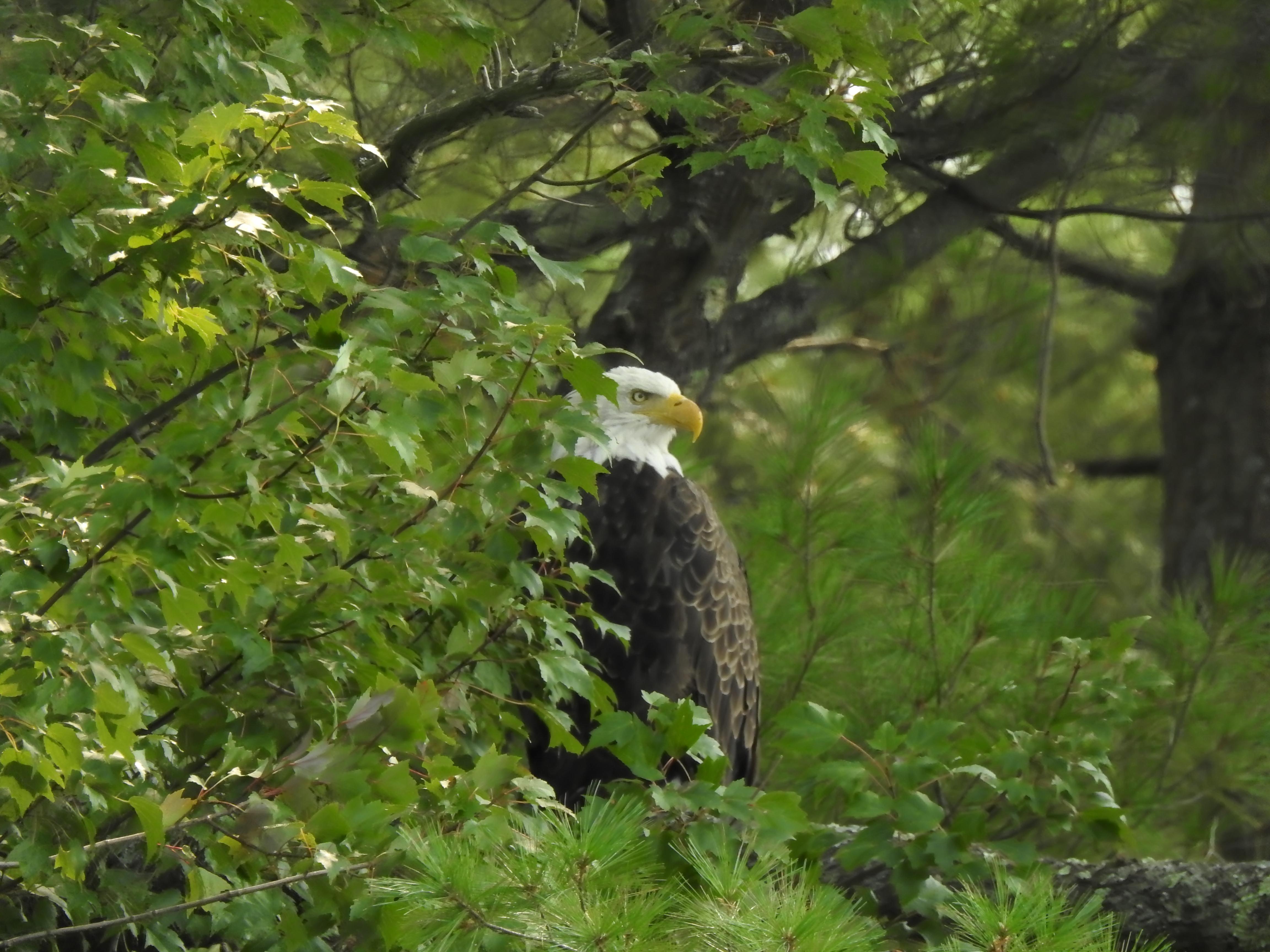 Eagles over Lake Mattawa in Orange