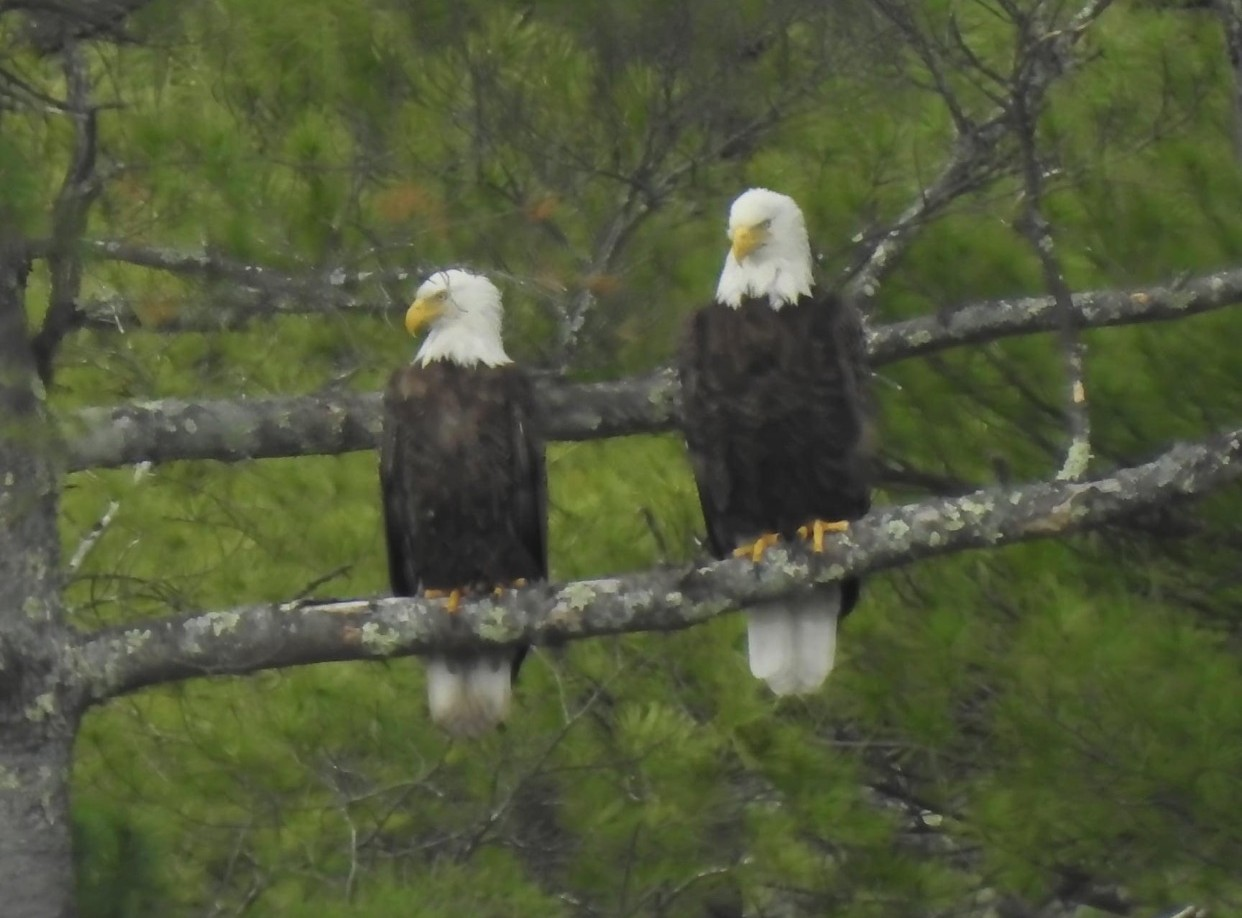 Eagles over Lake Mattawa in Orange